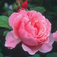 Why a beautiful pink rose would remind David Austin Roses of Brother Cadfael is anybody's guess